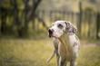 Great Dane dog in rain