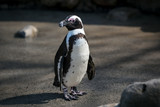 African penguin standing in the sun looking left