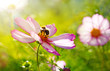 Bee working on white cosmos flower. - 139130651
