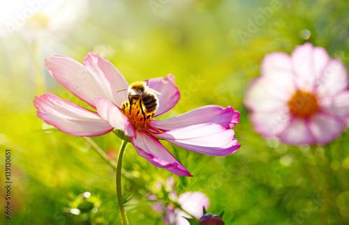 In de dag Bee Bee working on white cosmos flower.