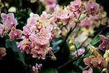 Fototapety Cymbidium orchids
