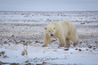Adult polar bear walking on snow-covered tundra