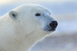 Polar Bear closeup head shot