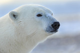Polar Bear closeup head shot