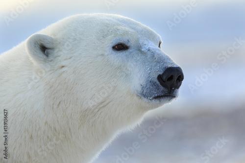Aluminium Ijsbeer Polar Bear closeup head shot