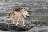 Grey Wolf (Canis lupus) Shakes Off On Rock in River
