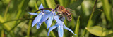 Honeybee in the meadow