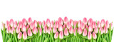 Spring tulip flowers isolated white background Floral banner