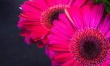 Closeup of two beautiful fresh pink gerbera daisies in the dark background