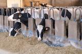 Stalla con fila di mucche pezzate allineate che mangiano il fieno - 139166228