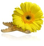 Composition of yellow gerbera flowers flower and starfish on white background, mirror reflection