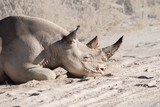 Black (hook-lipped) rhino laying in the dust in Etosha national park, Namibia