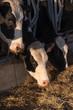 Mucche da latte pezzate bianco e nero nella stalla - 139205006