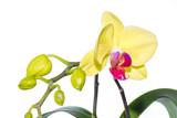 Fototapety Gelb Rote Orchidee