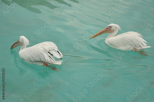 Two Beautiful White Pelicans at the Oceanarium of the City of Valencia