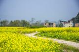 Countryside road in the rape flower fields