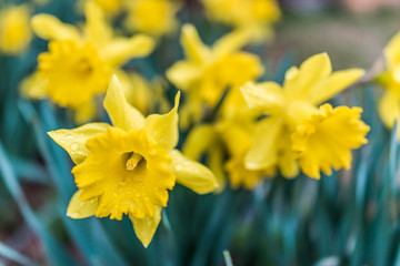 Many open yellow daffodil flowers with water drops