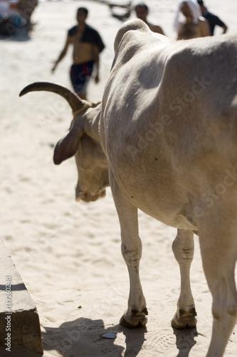 rogaty byk na plaży w Indiach