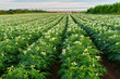 Rows of potato plants in a Prince Edward Island field with the Confederation Bridge in the distance.