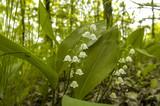 Lily of the valley, Austria, Lower Austria, Waldviertel, Kamp va