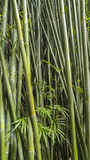 close upp of bamboo stalks at Kanapaha Gardens - Gainesville, Florida