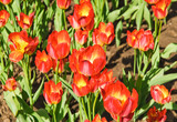 Bright red with a yellow middle flower tulips (Tulipa). The Sort Of