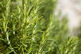 Rosemary camphor wild plant (Rosemarinus officinalis) - 139286423