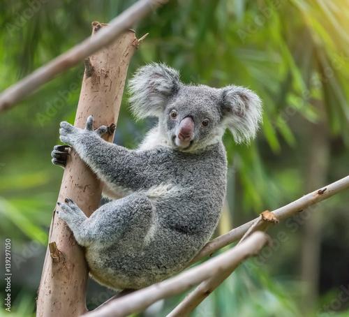 Poster Oceanië koala on tree sunlight on a branch