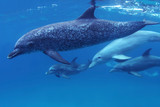 Dolphins swim in blue water