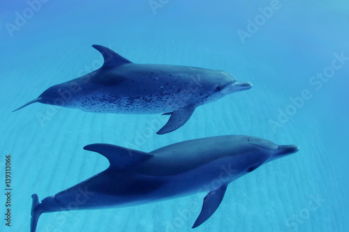 Two dolphins swimming in blue water