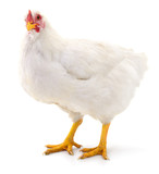 White hen isolated. - 139333059