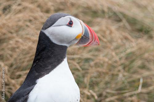 Foto op Plexiglas Antarctica 2 Atlantic Puffin Portrait