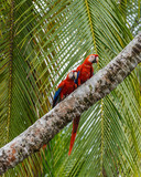 affectionate Macaws sitting together on a palm