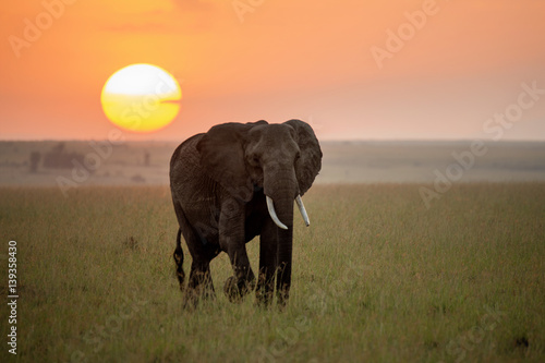 Elephant at sunrise on the Maasai Mara