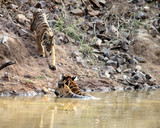 Two tigers already in the water and eagerly awaiting the third one to enter
