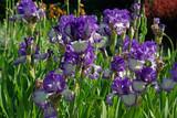 Iris bleus et blancs au jardin au printemps