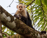 Capuchin Monkey with a Bird Egg in Jungle