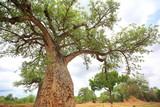African Baobab (Adansonia digitata) in Zambia