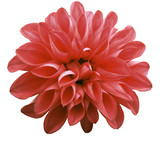 flower red dahlia isolated on white background is no shade. Suitable for designers. Closeup.