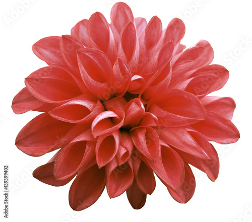 Plexiglas Rood traf. flower red dahlia isolated on white background is no shade. Suitable for designers. Closeup.
