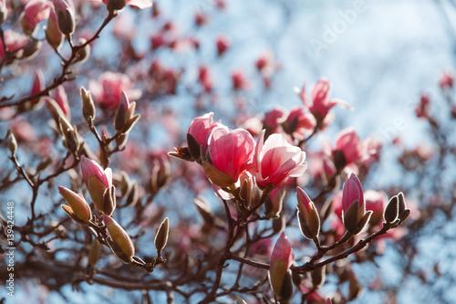 spring magnolia blossom Central Park New York Poster