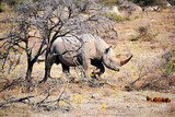 Rhino in Etosha Nationl Park