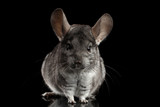 Close-up Gray Chinchilla on Isolated Black background