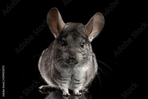 Close-up Gray Chinchilla on Isolated Black background