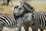Cuddling zebras, Tarangire National Park, Tanzania
