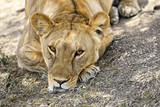 Headshot of a resting lioness in Tanzania