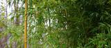 Bambus Banner Background