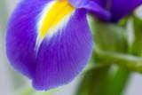 fresh purple flower  irises