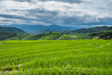 Green rice field in Chiang mai, Thailand.