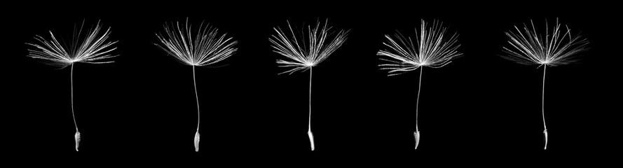Seeds of dandelion on black background